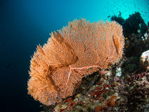Orange seafan. With sunlight in the back Stock Image