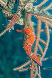 Orange seahorse. A seahorse on a branch coral. Picture took in the caribbean water of Roatan, Honduras stock image