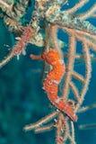 Orange seahorse Stock Image