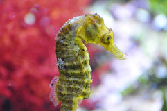 Seahorse - genus hippocampus Royalty Free Stock Image