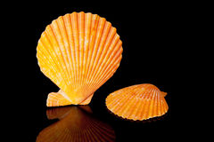 Orange seashells isolated on black background Stock Image