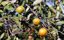 Orange season approaching Stock Image