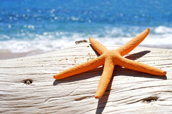 Orange seastar on an old washed-out tree trunk in the beach. Closeup of an orange seastar on an old washed-out tree trunk in the beach, with a bright blue sea in Royalty Free Stock Images