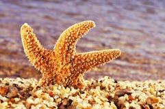 Orange seastar in the seashore Stock Photo