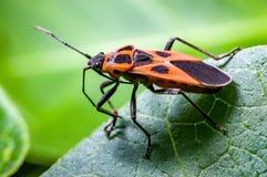 An orange seed bug. Tropidothorax cruciger ,on milkweed, Metaplexis japonica stock images