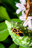 An orange seed bug. Tropidothorax cruciger ,on milkweed, Metaplexis japonica royalty free stock image