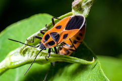 Orange seed bugs Royalty Free Stock Photos
