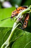 Orange seed bugs stock photography