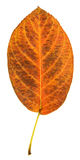 Orange Serviceberry Leaf Stock Photo