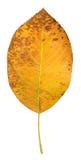 Orange Serviceberry Leaf Royalty Free Stock Photo