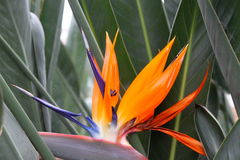 Orange sharp flower strelitzia Royalty Free Stock Photo