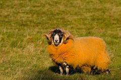 Orange Sheep Stock Photo