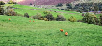 Orange sheep in the countryside Royalty Free Stock Photography