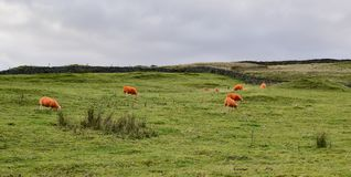 Orange sheep in the countryside Stock Photos