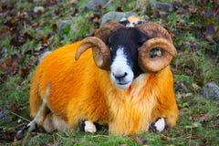Orange sheep. In the scottish highlands Royalty Free Stock Photography