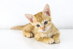 Orange short hair kitten sitting isolated on white cement wall background Royalty Free Stock Photos