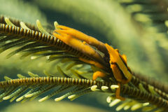 Orange shrimp ctab in crinoid Royalty Free Stock Photo