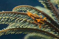 Orange shrimp ctab in crinoid Stock Image