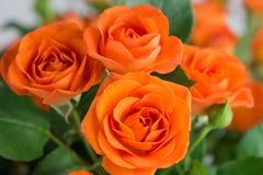 Orange shrub rose on background. Orange shrub rose bush on background stock photos