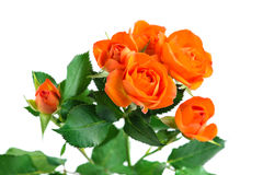 Orange shrub rose bush isolated on white royalty free stock photos