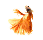 Orange siamese fighting fish, betta fish isolated on white backg Stock Images