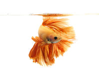 Orange siamese fighting fish, betta fish isolated on white background. stock images