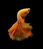Orange siamese fighting fish isolated on black background. Orange siamese fighting fish isolated on black background stock photography