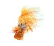 Orange siamese fighting fish isolated on black background. Orange siamese fighting fish isolated on black background royalty free stock photography
