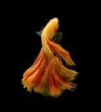 Orange siamese fighting fish isolated on black background. Orange siamese fighting fish isolated on black background royalty free stock photo