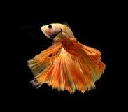 Orange siamese fighting fish isolated on black background. Orange siamese fighting fish isolated on black background stock image