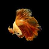 Orange siamese fighting fish isolated on black background. Orange siamese fighting fish isolated on black background stock photo