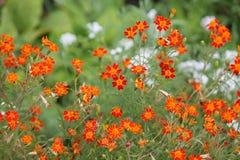 Orange signet marigold flowers on flowerbed. Orange signet marigold flowers or Tagetes tenuifolia on flowerbed Stock Image
