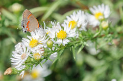 Orange and Silver Butterfly on a White Flower. Gorgeous orange and silver butterfly on white flowers with a green background Royalty Free Stock Photography
