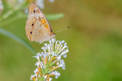 Orange and Silver Butterfly on a White Flower. With a nice green background Stock Photo