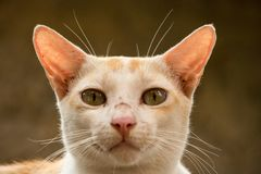 Orange Cat looking front. Orange single Cat looking front stock photos