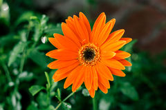 Orange single daisy flower closeup, natural background. Royalty Free Stock Photography