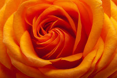 Orange single rose Stock Images