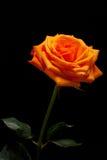 Orange single rose Royalty Free Stock Photography