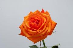 Orange single rose royalty free stock photo