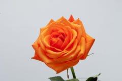 Orange single rose stock photos
