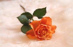 Orange single rose laying alone. Single orange rose laying in a soft place. Beautiful flower, alone stock photography