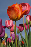 Orange Single Tulip stock photo