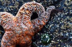 Orange sjöstjärna som klamra sig fast intill en barniclestad royaltyfri bild