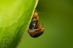 Orange skalbaggar Royaltyfri Fotografi