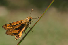 Orange skipper butterfly Royalty Free Stock Images