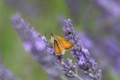 Orange Skipper Butterfly. An orange skipper butterfly settled on a lavender flower spike Stock Photos