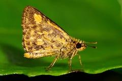 Orange skipper butterfly royalty free stock photo