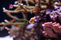 Orange skunk clownfish called Amphiprion perideraion Stock Image