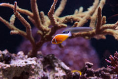 Orange skunk clownfish called Amphiprion perideraion Royalty Free Stock Photography