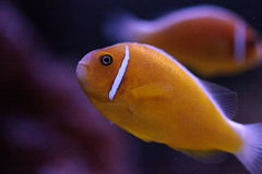 Orange skunk clownfish called Amphiprion perideraion Royalty Free Stock Images